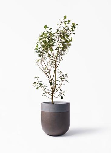 観葉植物 フランスゴムの木 10号 ノーマル バルゴ ツートーン マットブラウン 付き