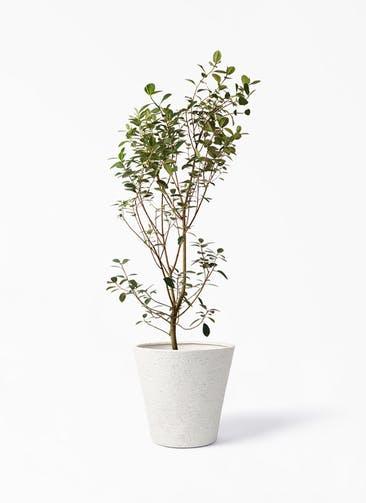 観葉植物 フランスゴムの木 10号 ノーマル ビアスソリッド アイボリー 付き