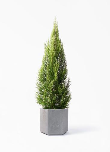 観葉植物 ゴールドクレスト 10号 ノーマル コーテス ヘックス 灰 付き