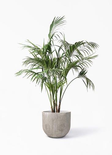 観葉植物 ケンチャヤシ 10号 バル ユーポット アンティークセメント 付き