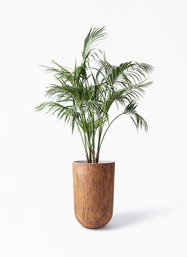観葉植物 ケンチャヤシ 10号 バル トール ラスティ 付き