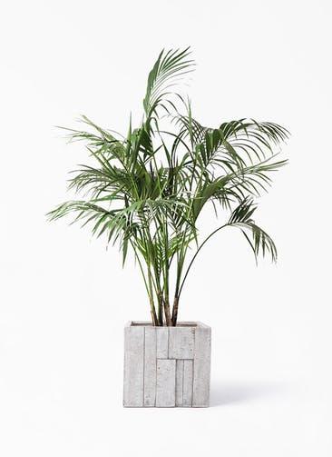 観葉植物 ケンチャヤシ 10号 パターン キューブ 付き