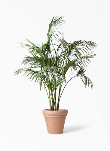 観葉植物 ケンチャヤシ 10号 トスカーナ リムポット 付き
