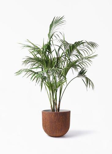 観葉植物 ケンチャヤシ 10号 バル ユーポット ラスティ  付き