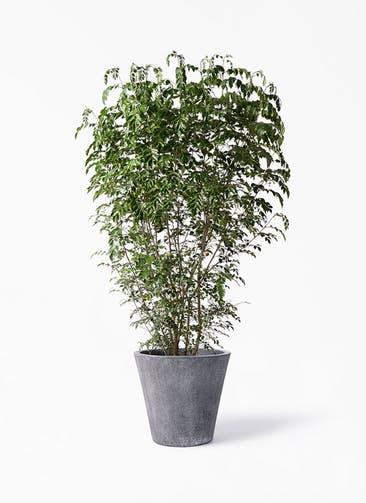 観葉植物 シマトネリコ 10号 フォリオソリッド ブラックウォッシュ 付き