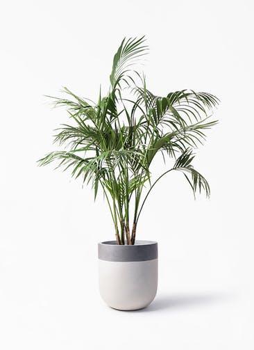観葉植物 ケンチャヤシ 10号 バルゴ ツートーン  サンディホワイト 付き