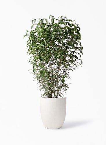 観葉植物 シマトネリコ 10号 フォリオアルトエッグ クリーム 付き