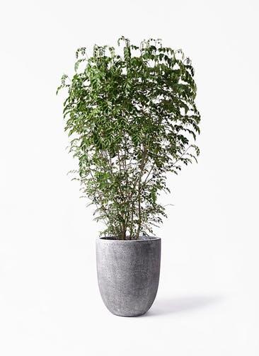 観葉植物 シマトネリコ 10号 フォリオアルトエッグ ブラックウォッシュ 付き