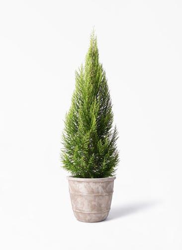 観葉植物 ゴールドクレスト 10号 ノーマル テラアストラ シリウス 付き