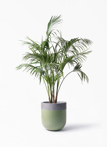 観葉植物 ケンチャヤシ 10号 バルゴ ツートーン 緑 付き