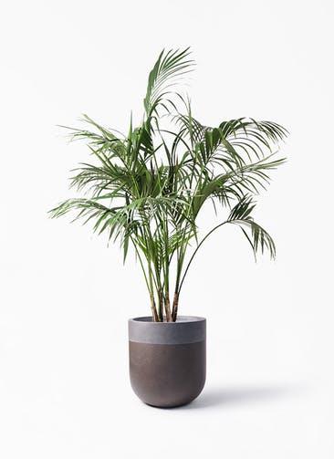 観葉植物 ケンチャヤシ 10号 バルゴ ツートーン マットブラウン 付き