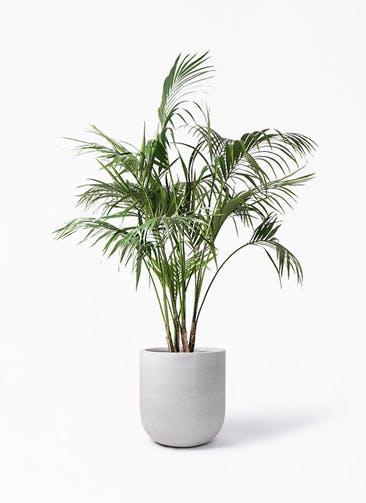 観葉植物 ケンチャヤシ 10号 バルゴ モノ ライトグレー 付き