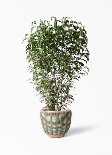 観葉植物 シマトネリコ 10号 マラッカ ダイドグリーン 付き