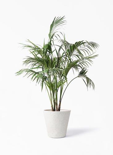 観葉植物 ケンチャヤシ 10号 ビアスソリッド アイボリー 付き