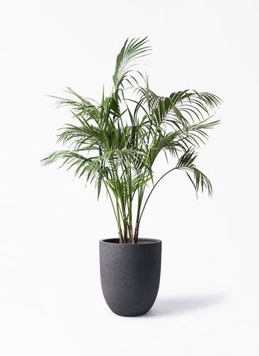 観葉植物 ケンチャヤシ 10号 ビアスアルトエッグ ブラック 付き