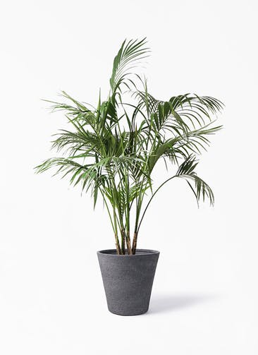 観葉植物 ケンチャヤシ 10号 ビアスソリッド ブラック 付き