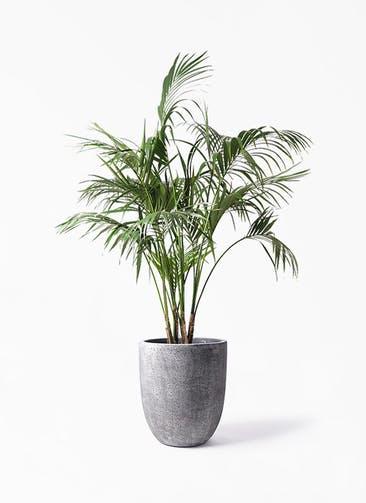 観葉植物 ケンチャヤシ 10号 フォリオアルトエッグ ブラックウォッシュ 付き