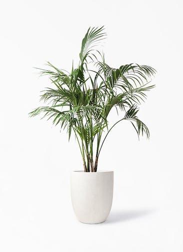 観葉植物 ケンチャヤシ 10号 フォリオアルトエッグ クリーム 付き