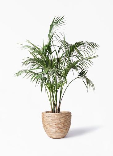観葉植物 ケンチャヤシ 10号 マラッカ ウォーターヒヤシンス 付き