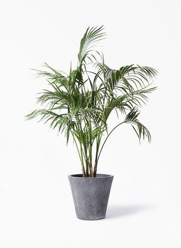 観葉植物 ケンチャヤシ 10号 フォリオソリッド ブラックウォッシュ 付き