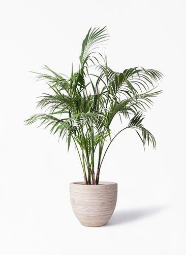 観葉植物 ケンチャヤシ 10号 マラッカ クリームウォッシュ 付き