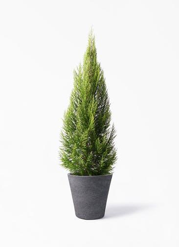 観葉植物 ゴールドクレスト 10号 ノーマル ビアスソリッド ブラック 付き