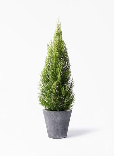 観葉植物 ゴールドクレスト 10号 ノーマル フォリオソリッド ブラックウォッシュ 付き