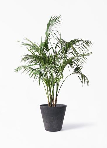 観葉植物 ケンチャヤシ 10号 アートストーン ラウンド ブラック 付き