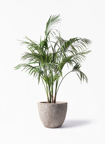 観葉植物 ケンチャヤシ 10号 アビスソニア ラウンド 付き