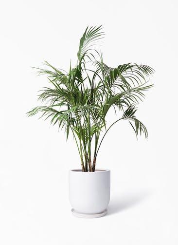 観葉植物 ケンチャヤシ 10号 アファール 白 付き