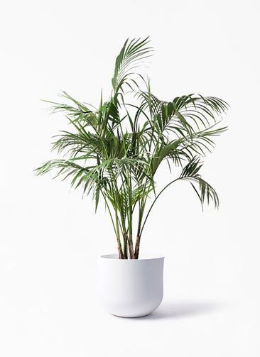 観葉植物 ケンチャヤシ 10号 アユラニ ライレイ 付き