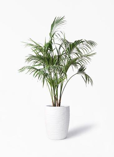 観葉植物 ケンチャヤシ 10号 サン ミドル リッジ 白 付き
