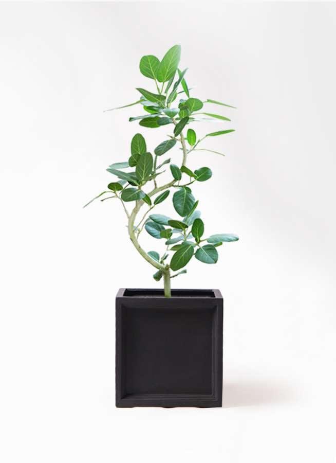観葉植物 フィカス ベンガレンシス 8号 曲り ブリティッシュキューブ 付き