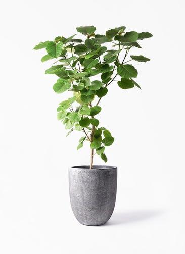 観葉植物 フィカス ウンベラータ 10号 ノーマル フォリオアルトエッグ ブラックウォッシュ 付き