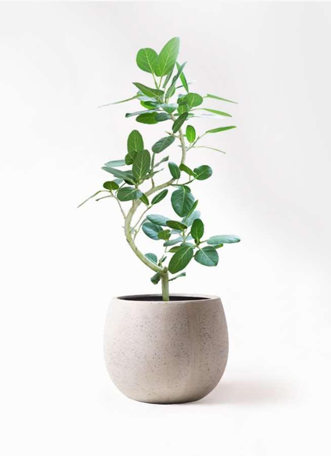 観葉植物 フィカス ベンガレンシス 8号 曲り テラニアス ローバルーン アンティークホワイト 付き