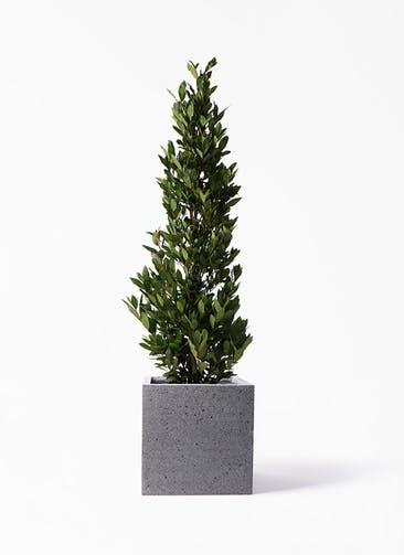 観葉植物 月桂樹 10号 キューブ ラテルストーン 付き