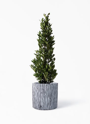 観葉植物 月桂樹 10号 コーテス シリンダー チゼル 付き
