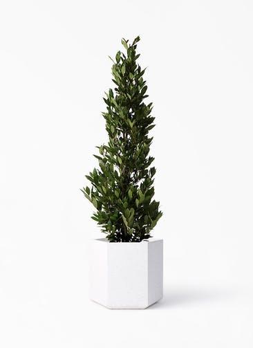 観葉植物 月桂樹 10号 コーテス ヘックス ホワイトテラゾ 付き