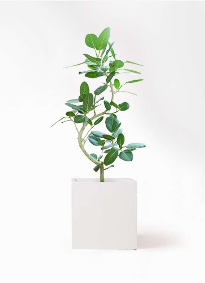 観葉植物 フィカス ベンガレンシス 8号 曲り バスク キューブ 付き