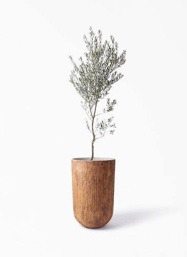 観葉植物 オリーブの木 10号 創樹 バル トール ラスティ 付き
