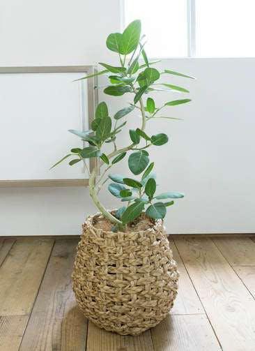 観葉植物 フィカス ベンガレンシス 8号 曲り ラッシュバスケット Natural 付き