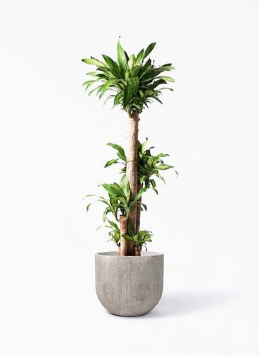 観葉植物 ドラセナ 幸福の木 10号 ノーマル バル ユーポット アンティークセメント 付き