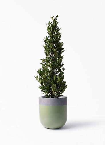 観葉植物 月桂樹 10号 バルゴ ツートーン 緑 付き