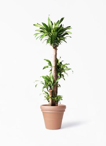 観葉植物 ドラセナ 幸福の木 10号 ノーマル トスカーナ リムポット 付き