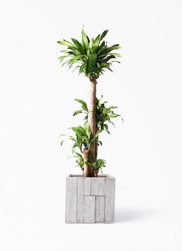 観葉植物 ドラセナ 幸福の木 10号 ノーマル パターン キューブ 付き