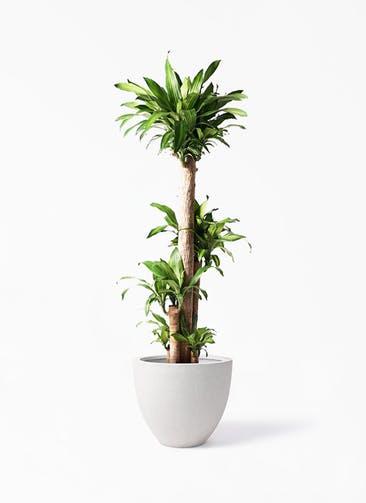 観葉植物 ドラセナ 幸福の木 10号 ノーマル スタウト アッシュラウンド  付き