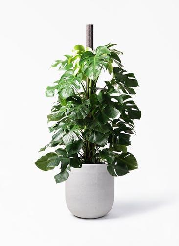 観葉植物 モンステラ 10号 ヘゴ柱 バルゴ モノ ライトグレー 付き
