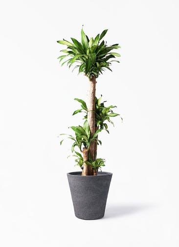 観葉植物 ドラセナ 幸福の木 10号 ノーマル ビアスソリッド ブラック 付き