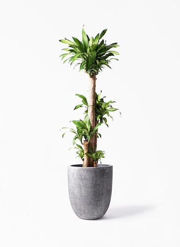 観葉植物 ドラセナ 幸福の木 10号 ノーマル フォリオアルトエッグ ブラックウォッシュ 付き