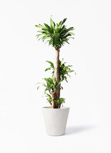 観葉植物 ドラセナ 幸福の木 10号 ノーマル ビアスソリッド アイボリー 付き